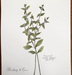 ©Hackney & Co Day 77 #pennyroyal #scottish #wildherb #botanicalillustration #botanicalart #healingherbs #herbs #botanica #wildherbillustration #herbology #100daysofillustration #hackneyandco100days