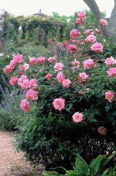 Le Vesuve -- China, compact bush, fragrant repeat blooms