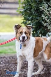 Sammy is an adoptable Australian Shepherd Dog in McKinney, TX. Sammy is a fun loving, one year old Austrian Shepard/St. Bernard boy.  He came to us from a high kill shelter where they thought he had S...