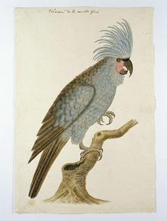 anoniem | Blauwe papegaai met kuif, attributed to Robert Jacob Gordon, in or after c. 1780 | Vogelstudie: Blauwe papegaai met kuif. Komt niet in zuidelijk Afrika voor; determinatie is moeilijk; volgens Gordon afkomstig uit Nieuw Guinea.