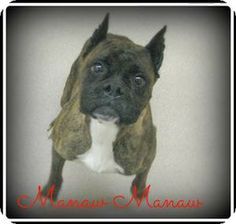 Birmingham, AL - Boxer Mix. Meet Manaw Manaw a Dog for Adoption.