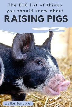 On fermented food for pigs, too! Raising pigs can be easy if you know what to do. Learn what you should know about raising pigs before you bring them home. Learn to avoid common mistakes so you too can enjoy raising pigs on your homestead. Raising Farm Animals, Raising Chickens, Pigs Raising, Raising Pot Belly Pigs, Backyard Farming, Chickens Backyard, Kune Kune Pigs, Pig Showing, Happy Pig