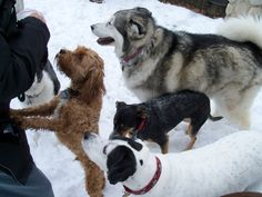 Treats at the park with Jimmie's play group. Miles is climbing, Tika is the Malamute, Petunia and Jimmie.