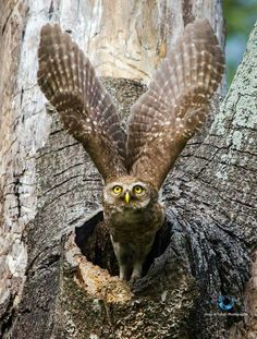 Spotted owl, Bangladesh