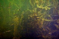 Rasbora trilineata: Scissortail Rasbora (in their natural habitat)