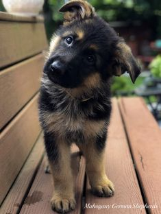 Black German Shepherd dogs mix has resulted in other breeds of dogs like Pugs, Collies, Huskies, and more.This brings out best qualities of both dog breeds. Gsd Puppies, Cute Dogs And Puppies, Chihuahua Dogs, Doggies, Gsd Dog, Pet Dogs, Weiner Dogs, Types Of Puppies, Beagle Mix