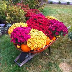 s 11 breathtaking mum pictures that ll get you crazy excited for fall, gardening, seasonal holiday decor, Wheelbarrow Full of Mum kins and Pumpkins Wheelbarrow Planter, Fall Mums, Fall Containers, Fall Plants, Autumn Garden, Garden Ornaments, Fall Flowers, Blooming Flowers, Yard Landscaping