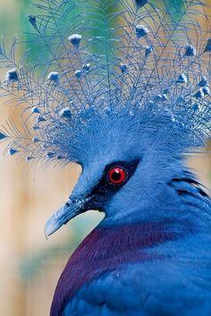 Victoria Crowned Pigeon by sweet.dreams