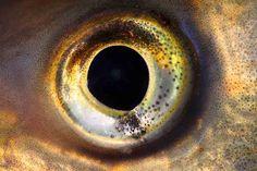 Galería | Ojos de impacto El ojo de un Pez, totalmente redondo :)