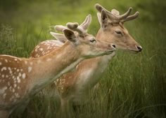 Photo Deers by Zoltan Schadel on 500px