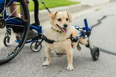 A man who uses a wheelchair to get around met his match in his four-legged friend who needs the same assistance.