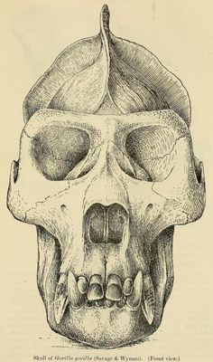 Skull of Western Gorilla, front view, Zoological Society of London, 1904