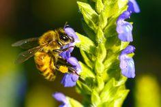 Honeybee on chia