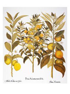 Citron And Orange, 1613 Giclee Print by Basilius Besler at Art.com