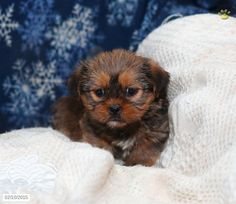 Shorkie Puppy for Sale in Pennsylvania Shorkie Puppies For Sale, Pennsylvania, Teddy Bear, Dogs, Animals, Animales, Animaux, Pet Dogs, Teddy Bears