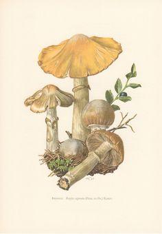 1963 Gypsy Mushroom Rozites caperata Vintage by CabinetOfTreasures Mushroom Drawing, Mushroom Art, Botanical Drawings, Botanical Prints, Images Vintage, Art Et Illustration, Illustrations, Nature Prints, Antique Prints
