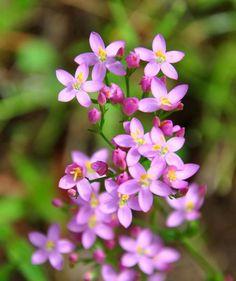 Centaurium erythraea {{Tausendgüldenkraut}} Samen