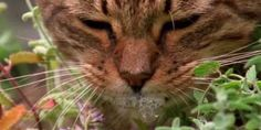 Kattenkruid plant heeft een aantrekkelijke geur voor katten. Het gedroogde kruid heeft zelfs een geneeskrachtige werking!