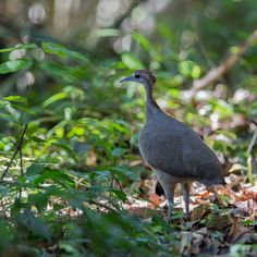Great Tinamou (Tinamus major) A bird foraging in the forest