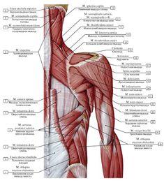 Gross Anatomy, Human Body Anatomy, Human Anatomy And Physiology, Muscle Anatomy, Anatomy Study, Anatomy Reference, Body Diagram, Anatomy Sketches, Anatomy Poses