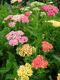 Achillea Millefolium Summer Pastels | achillea summer pastels yarrow, photo courtesy of wwgreenhouses.com Flower Garden, Meadow Garden, Planting Flowers, Plants, Achillea Millefolium, Beautiful Flowers, Perennials, Terrace Garden, Flowers