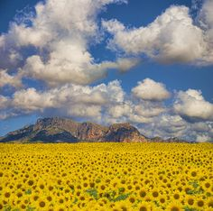 Sunflower Valley, Valencia, Spain