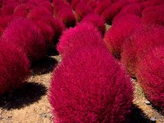 colour impact, hot red pink, garden form