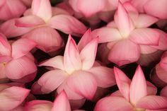 Small pink Lotas's