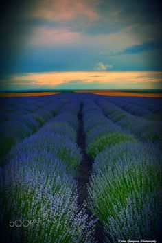 ~~Sunset with the scent of lavender ~~ by Katya  Georgieva Photography...... #yellow #flowers #beauty #spring #color #flower #blue #light #summer #beautiful #plant #green #pink #garden #purple #lavender