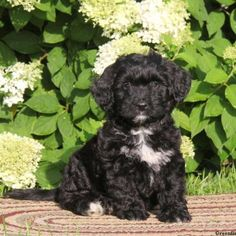 This family raised Mini Bernedoodle puppy is very expressive, loves to explore and is just loads of fun! Alice has a 6 month genetic health guarantee through the breeder, is vet checked and vaccines and wormer up to date. She has a soft, curly coat of fur that is ready for snuggles and a happy spirit. If you are looking for a new best friend, then this is the pup for you! Please contact the breeder to set up an appointment if you would like to meet Alice! •6 month genetic health guarantee…