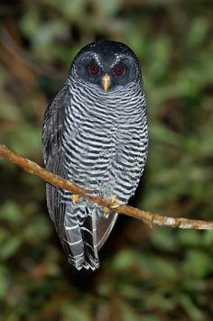 Black-banded Owl (Strix huhula)