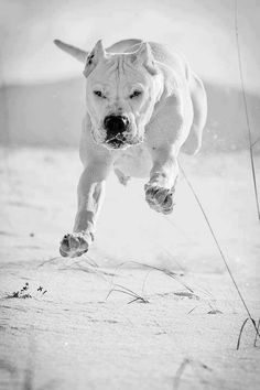 Dogo running.  Prefer without cropped ears, but still magnificent!