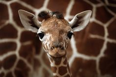 Cute+Baby+Giraffe | five-day-old baby giraffe stands by its mother, Denisa, in their ...