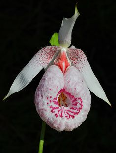 Cypripedium formosan