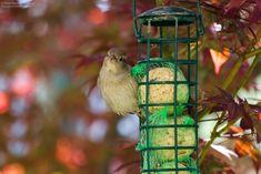 """Ein Spatzen-Weibchen beim Früshtück. """"Wer stört hier?"""" Bird Feeders, Outdoor Decor, Pictures, Landscape Pictures, Canvas Frame, Teacup Bird Feeders"""