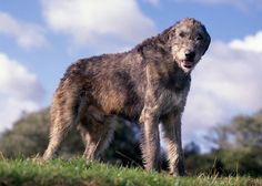 13 Largest Dog Breeds: Towering and Commanding.  Irish Wolfhound Dog Breed
