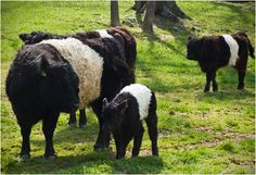 Belted Galloway Cows 'Oreo Cows' at Cessna's Farm!