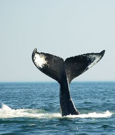 Spotting a whale-tail while whale-watching on the Bay of Fundy | New Brunswick, Canada travel