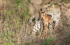 Tailormake your African Safaris and Tours with the Pioneers who created this concept and Live in Africa. Book local and secure local rates. Game Reserve, African Safari, Impala, Predator, Bouldering, Cubs, Two By Two, Travel Deals, Siblings