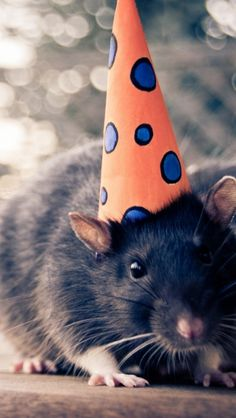 Birthday Rattie!
