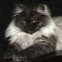 Image from http://cartier-siberian-cats.com/cartier/wp-content/uploads/2014/07/AnaBella-Midnight-Rain-of-Cartier.jpg.