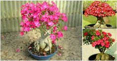 #Nurserylive is giving away 1 million plants & seeds FREE. Subscribe & #Win an #Adenium #Bonsai plant #Free.