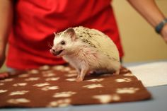 ハリネズミは狂気の長い舌を持っており、彼らは彼らの鼻をなめるしたいです。 | 40 Things We Learned At The Hedgehog…