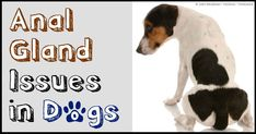 If your pet dog experiences recurrent anal gland problems, the first thing you should do is eliminate all grains from her diet. http://healthypets.mercola.com/sites/healthypets/archive/2014/05/16/dog-anal-glands.aspx