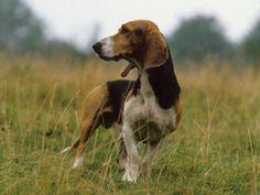Basset artesien normand photo | Basset artésien normand : chien et chiot. - Wamiz