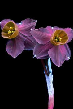 Photographer Craig Burrows captures the fluorescent light of plants through special UV photography. Uv Photography, Types Of Photography, Bonsai, Glowing Flowers, Narcissus Flower, Shades Of Violet, Fotografia Macro, Bloom, All Plants