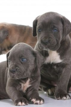 beautiful young puppy italian mastiff cane corso - I should never be aloud to look at puppies..