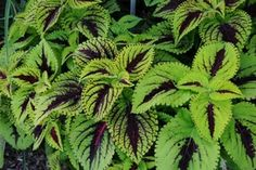 Annuals for Part to Full Shade Shade Annuals, Shade Plants, Tuberous Begonia, Little Ruby, Dappled Light, Summer Waves, Annual Flowers, Foliage Plants, Salvia