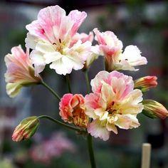 Kolla vilken fin zonarticpelargon! En trefärgad blomma med fransiga kronblad. #wexthuset #frö #plantera #pelargon #pelargonium #geranium #krukväxt #minträdgård #mygarden #garden #trädgård #hemträdgården #svenskträdgård #blommor