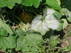 Squash POWDERY MILDEW ~~ TO KILL: use baking soda, olive oil & dish soap mix.. TO PREVENT: use compost tea spray on leaves